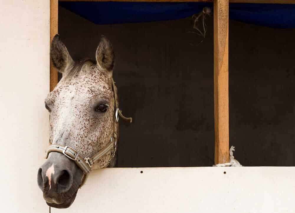 horse looks out of stall box