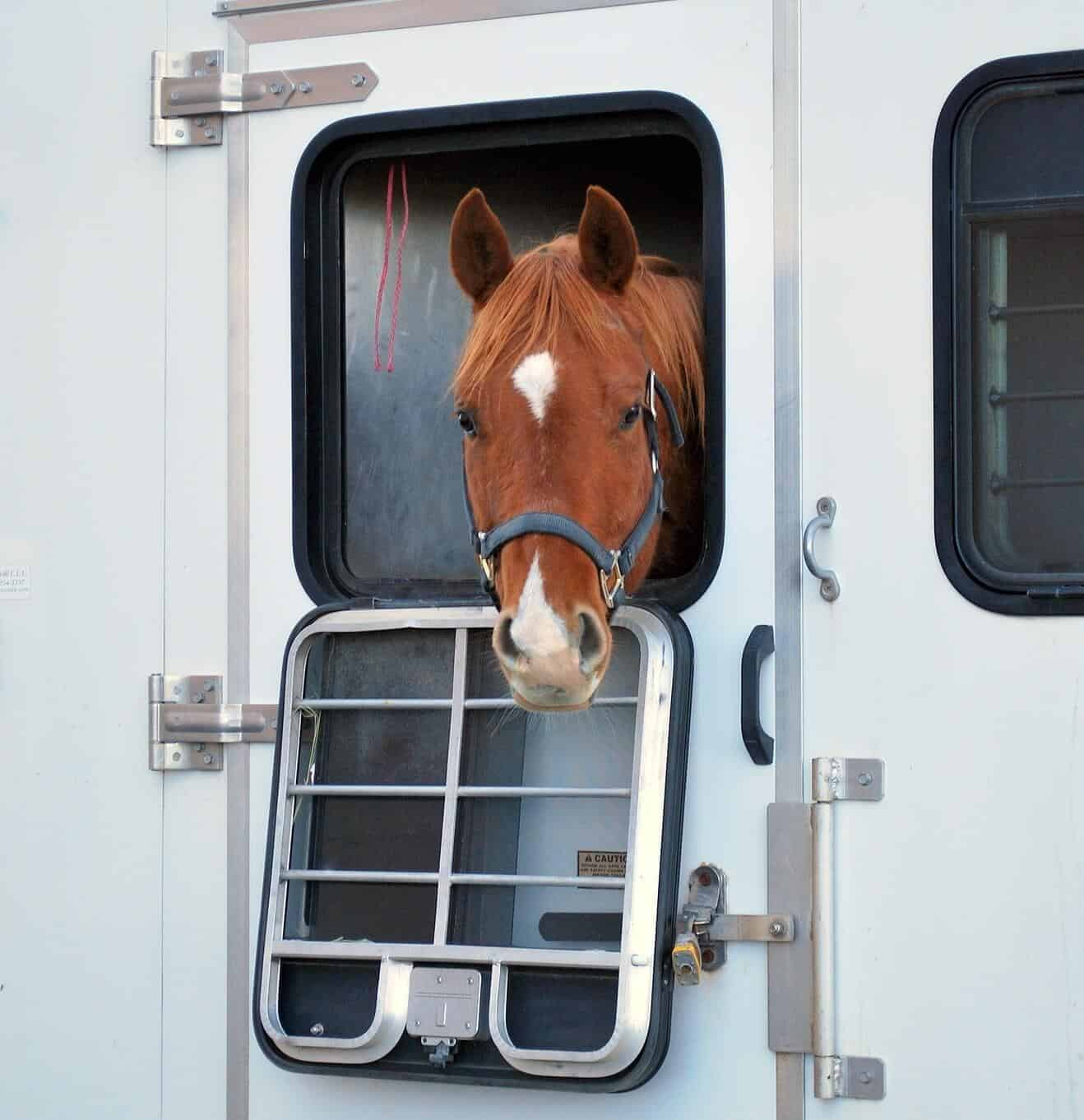 Horse looking out of horsebox