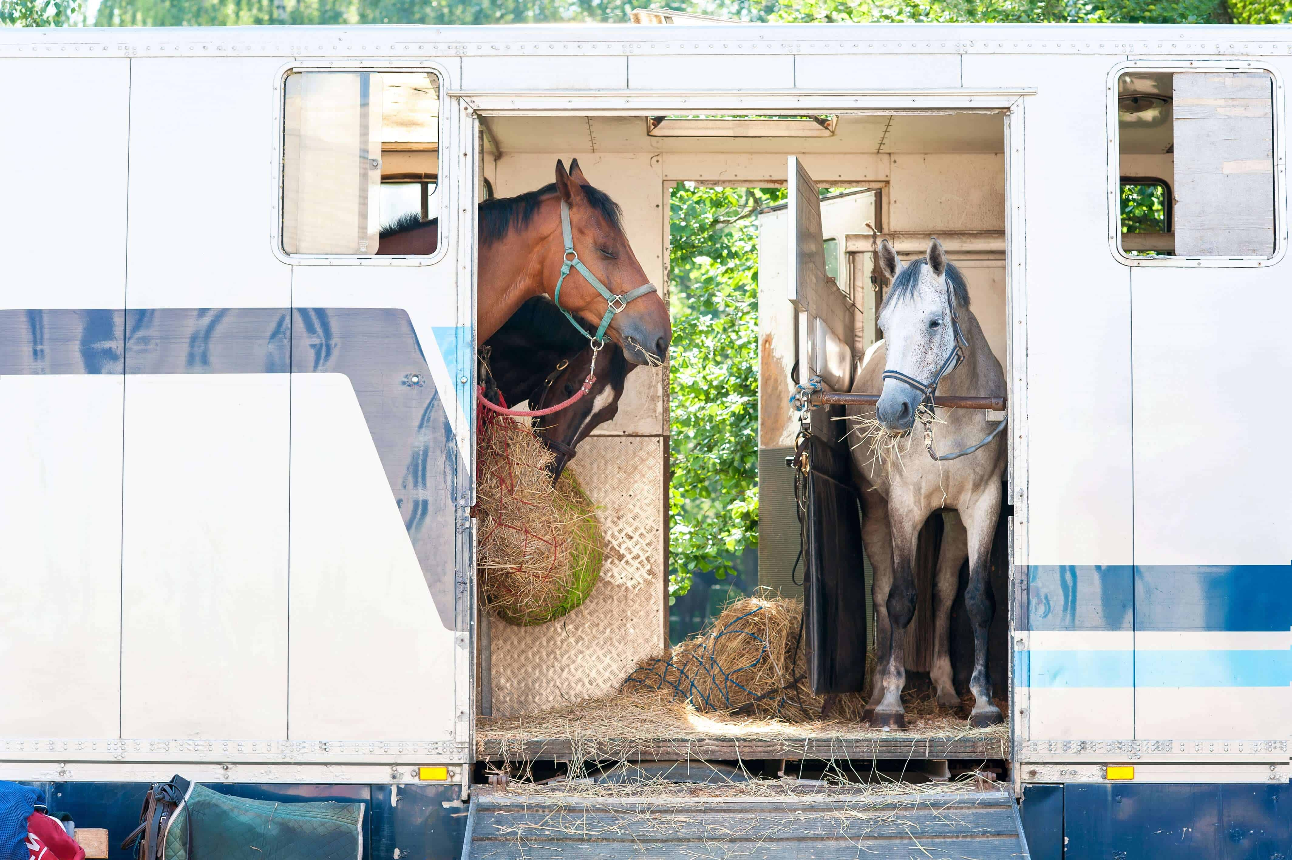 Horses eating inside trailer