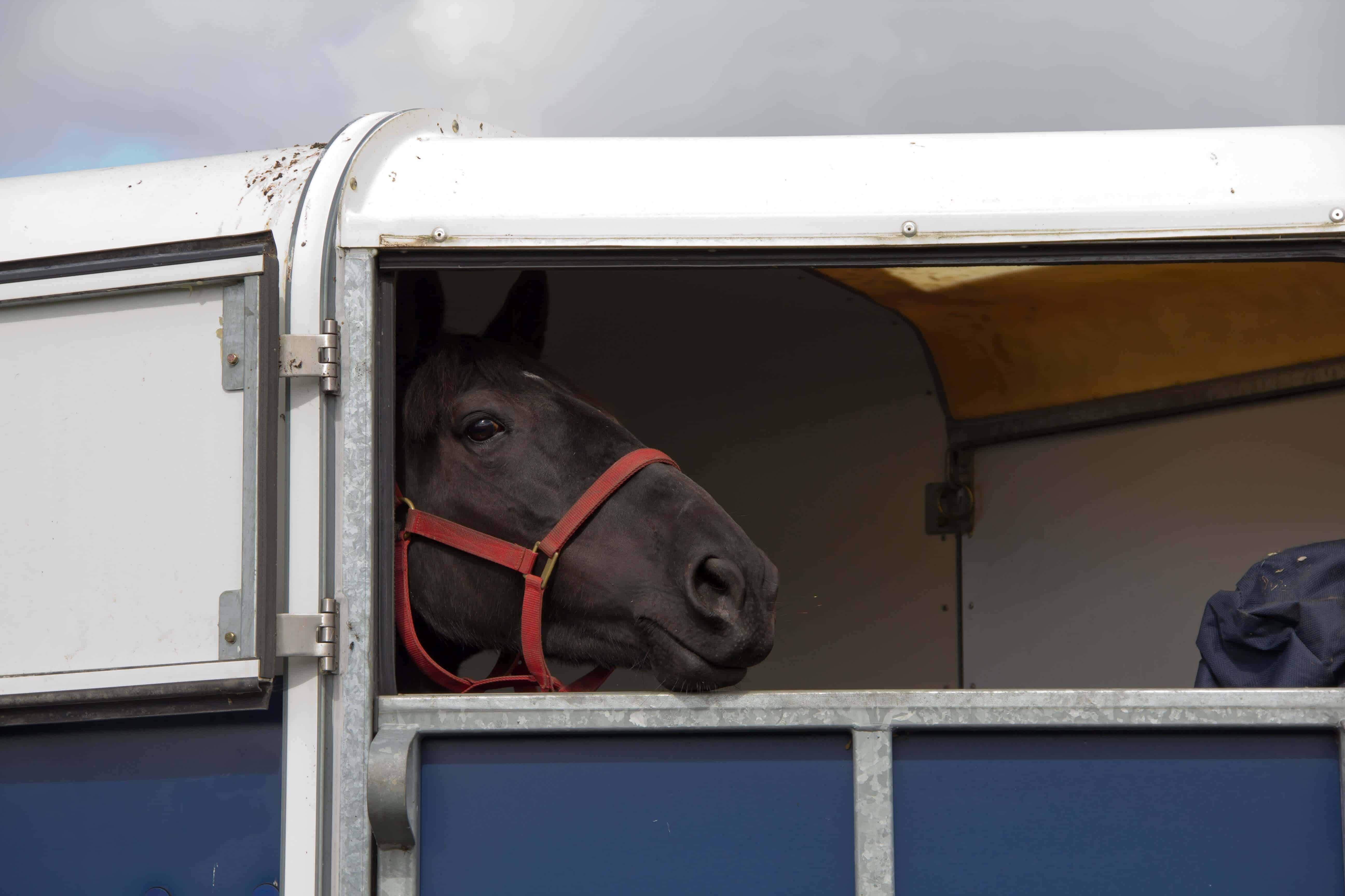 Horse looking out from horsebox